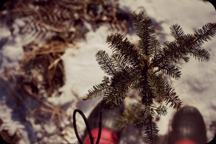 christmas tree farm - sapling